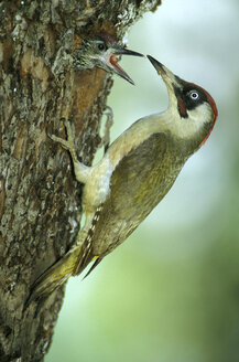 Green Woodpecker feeding - EK00376