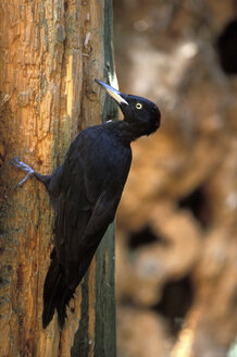 Black Woodpecker on tree trunk - EK00373