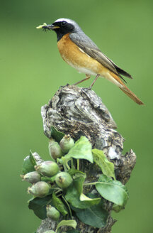 common redstart with pray - EK00362
