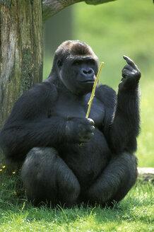 gorilla - EK00351