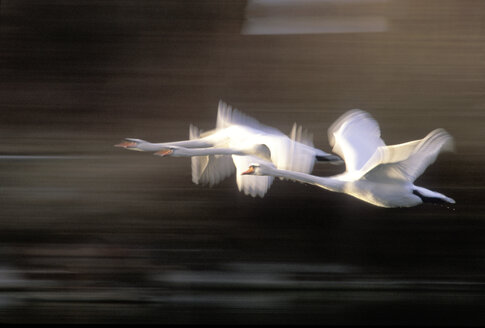Flying mute swans - EK00288
