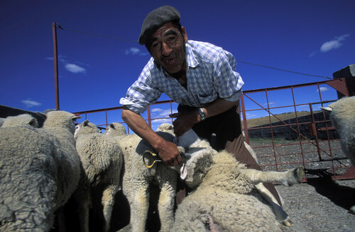 Farmer shearing sheep - 00363HS