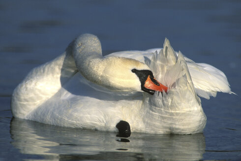 Mute swan on lake - 00277EK