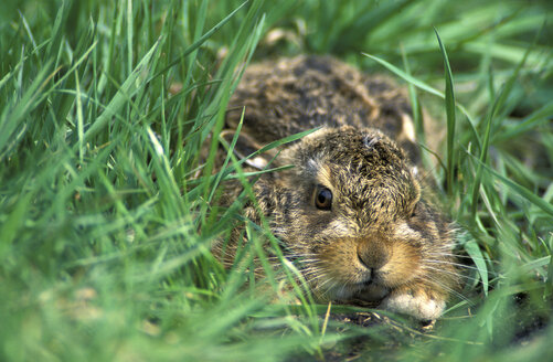 Young hare, Lepus Capensis - 00245EK