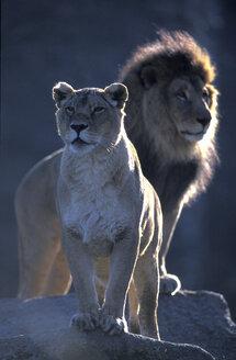 african lion, Munich zoo - 00207EK