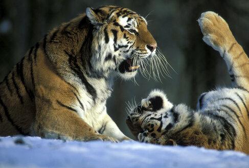 Ostsibirischer Tiger mit Jungen, Panthera tigra amurensis, Münchner zoo - 00204EK