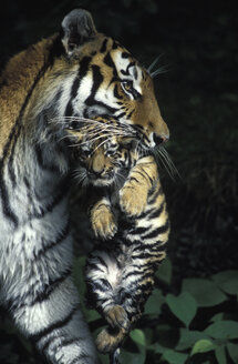 Eastsibirian tiger with puppies - 00143EK