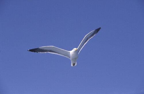Seagull - 00052PE