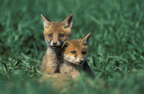 young red foxes in front of hole - 00036EK