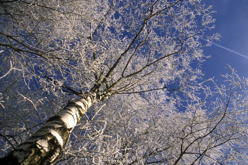 birches, wintertime - MB00169