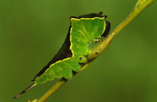 Puss Moth, Cerura Vinula - EK00484