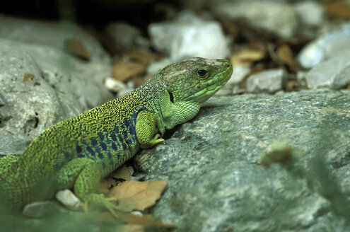 Occelated green lizard, Lacerta lepida - EK00436