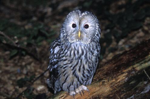 Habichtskautz, Ural Owl, Strix uralensis - EK00414