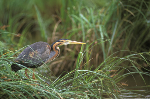 Purple Heron - EK00357