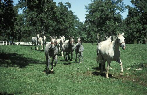Lipizzia horses - 00080GN