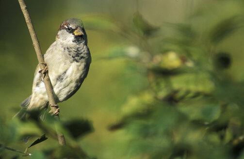 Dunnock sparrow - EK00480