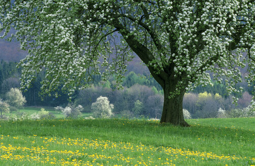 Pear Tree, spring time - EK00445