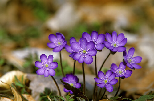 Liverwort, Hepatica nobilis - EK00442