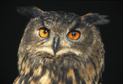 Eagle owl, Bubu bubu - EK00423