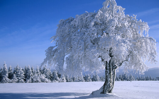 Germany, Black forest snow-covered trees - EK00320