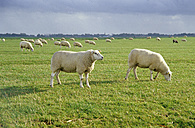 Friesland, sheep and pasture in the north, Netherlands - MS01418