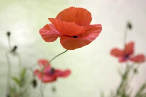Corn poppy red flower heads - MNF00073