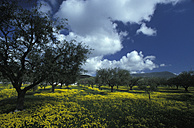 Olive trees and meadow, Calabria, Italy - GWF00190