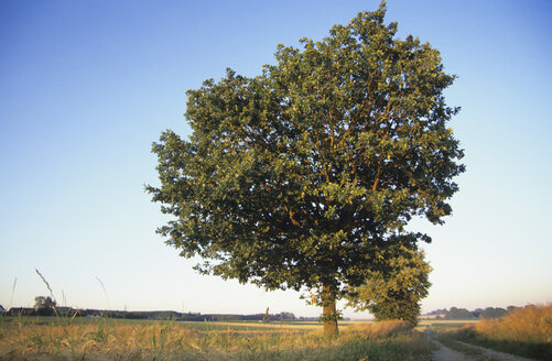 Germany, Bavaria, Red beech in a field - GSF00500