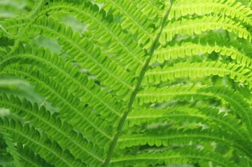 Ferns, full frame - HHF00109