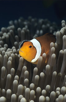 Western Clownfish, Amphiprion ocellaris - GNF00577