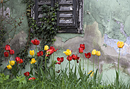 Tulips in front of old house - WWF00013