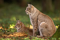 Two lynxes in forest - EKF00589