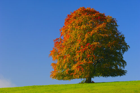 Germany, Bavaria, Beech tree in autumn - EKF00585