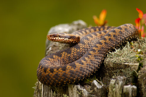 Adder, common viper, vipera berus - EKF00570