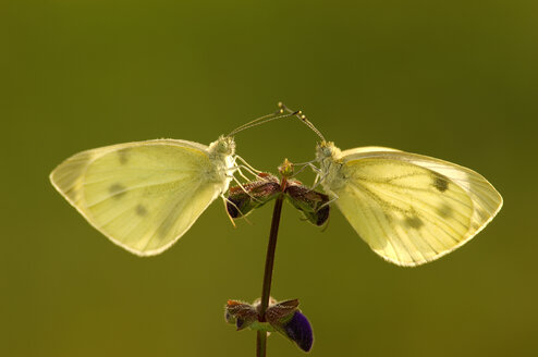 Two cabbage white butterflies sitting on flower - EKF00551