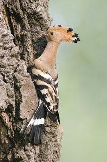 Hoopoe on tree trunk, close-up - EK00543