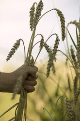 Child's hand holding wheat - CKF00117