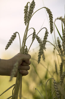 Child's hand holding wheat - CKF00117