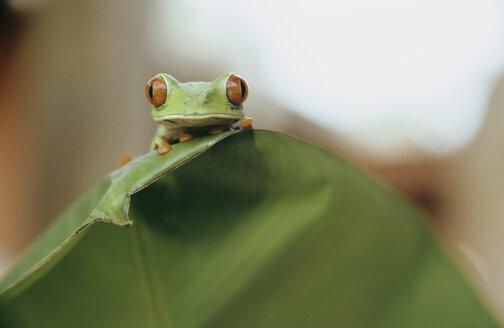 Frog sitting on a leaf, Costa Rica - PE00380