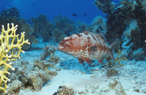 Bluebarred parrotfish, Scarus ghobban - GNF00633