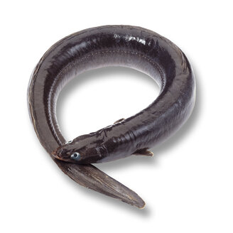 Eel (Anguilliformes), elevated view - 02840CS-U