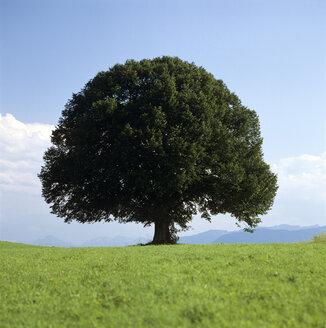 Tree in field - MB00187