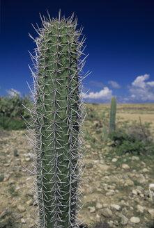 Cacti, Avashi Beach, Aruba - MR00552