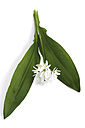 Bear's garlic, Allium ursinum - 03204CS-U