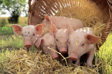 Pigs with basket in field - CHKF00126