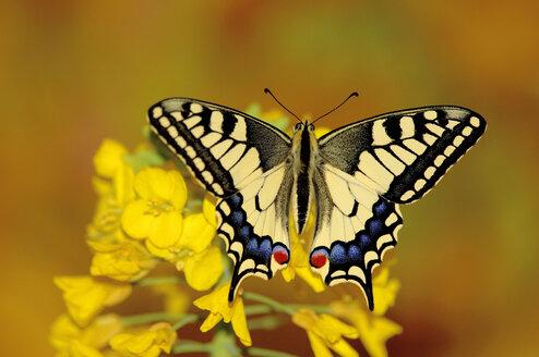 Swallowtail butterfly sitting on flower - EKF00609