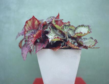 Begonia exotica - HOEF00235