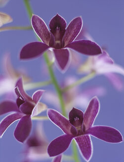 Comb patterned orchid, close-up - HOEF00185