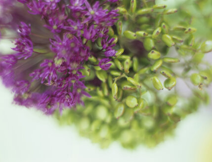 Allium Giganteum, close-up - HOEF00179