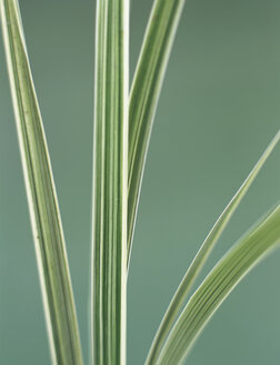 Sedge grass leaves, close-up - HOEF00163